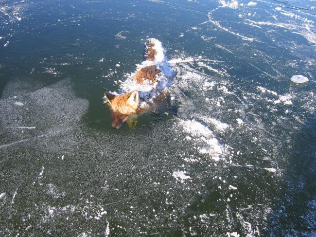 Renard pris dans la glace