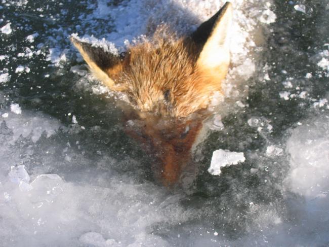 Renard pris dans la glace 2