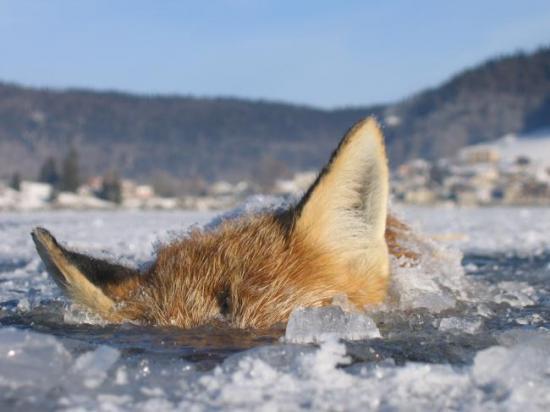 Renard pris dans la glace 1